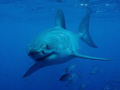 shot taken while diving with Rodney Fox shark expeditions Port Lincoln Sth Australia.
