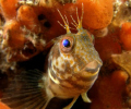 Denny the Blenny was taken on an old wreck called the Hawthorne off Durban South Africe.
