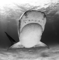 tiger shark in  B&W showing her Lorenzini pores