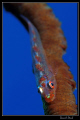Whip coral gobbie :-D - Marsa Nakari house reef, zodiac north. This whip coral was just underneath the cave where we found the hatchin tiger cardinalfish - we spent quite some tim on this spot.