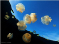 -Jellyfish Lake-