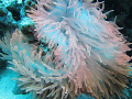 The most beautiful anemone that I have ever seen. It's almost as though there is an internal light source!