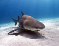 lemon shark over the sand