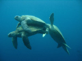 I'd been diving at Sipadan with hundreds of turtles for over four months before I stumbled upon these three! I don't know the full story but the fella at the back was obviously jealous and very keen to get involved!