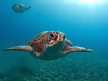 Green turtles, El Puertito, Tenerife. Olympus E330, 8mm fisheye, single Ikelite DS125 strobe.