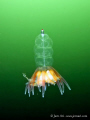 Siphonophore - Physophora hydrostatica