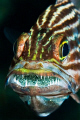 Cardinalfish brooding eggs: 60mm lens with +3 diopter.