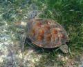 Hawksbill turtle in the waters off St. John, USVI.