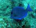 Blue tang; Dory is looking for Nemo in the waters off St. John, USVI!