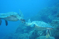 Galapagos (turtle pair)
