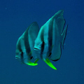 This is the Mirror effect of a friendly and curious Batfish couple! Taken in Perhentian Islands, Malaysia, on the Secret Wreck alias Fish Heaven Dive site.