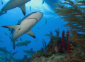 carribean reef sharks around coral head