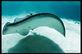Southern Stingray, Grand Cayman.