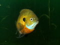 Nesting Bluegill Sunfish, 1
