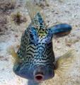 Whistle fish....