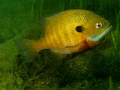 Male Bluegill tending nest in spring.