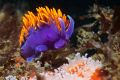 Flabellina Iodinia (Spanish Shawl)