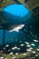 Carcharias taurus or a Sand Tiger Shark within the wreck of the Aeolus, Outerbanks, North Carolina.
