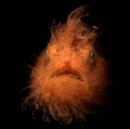 Hairy Frogfish with snoot, Lembeh