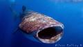 Mr Tibbs.......Annual Whale Shark Aggregation North of Isla Blanca Cancun Mexico
