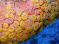 Golden Zoanthid - Taken on the Spiegel Grove Wreck