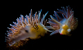 Cold Water Nudibranch #2