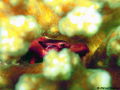 Red Coral Crab, Trapezia Cymodoce, hiding in the coral playing hared to get.