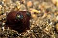 Bobtail squid taken in lembeh straits.  Canon G12 w 1 strobe.