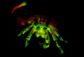 Fluorescent Hermit crab glowing in the dark - by using glowdive filters and ultraviolet lights it is possible to find and capture fluorescent creatures even in the cold Norwegian fjords. No photoshop effects.