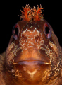 From my first ever dive in England last weekend - Tompot Blenny portrait taken under Swanage Pier...