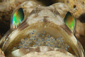 Jawfish with eggs about to hatch
