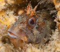 Tompot Blenny photographed on a wreck dive off Swanage.