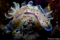 Chromodoris on the move