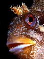 Tompot Blenny portrait, Swanage Pier