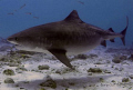 Emma the Tiger Shark,just swimming by at Crystal Tiger,heavily pregnant and absolutely beautiful,she spent a lot of the day with us,an honour indeed for us.