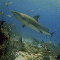 Reef Shark in Flight up the reef with Yellowfin all around.....