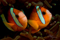 Two Anemone Fish