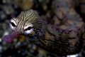 Pipefish