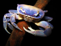 This crab was photographed by klaus Bosbach in Cenote