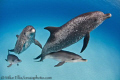 4 of the best friends a man can have....Wild Atlantic spotted Dolphins on White Sand Ridge,Bahamas.