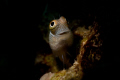 Tiny blenny (less than 1cm long) photographed with  micro-snoot