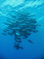 Shoal just off Elphinstone Reef
