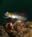 Round Goby. Invasive species to the Great Lakes. Lake Ontario near St. Catharines
