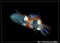 Coupling of a very small cuttlefish. Rear view.