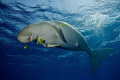dugong in the red sea was playing with us and the cam.