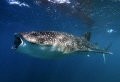 Open wide...whaleshark feeding, Djibouti