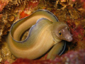 Looking Shy... - Eel moray