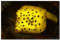 Baby Boxfish (5 cm)