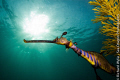 Weedy Seadragon (Phyllopterix taeniolatus) coming out from behind camouflaging  seaweed. ISO 100, f/14,  1/200 sec.