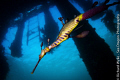 Male weedy seadragon with eggs under Portsea pier. Tokina 10-17mm, ISO 100, f/5.6 and 1/200 sec
